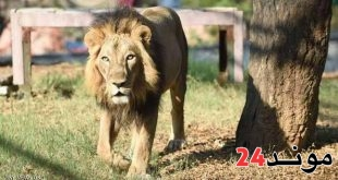 اوغندا: نفوق 11 اسدا مهددا بالانقراض داهل محمية لهذا السبب