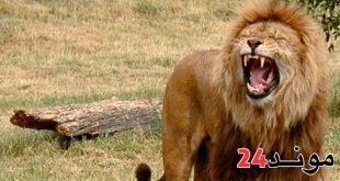 المانيا: نجاة حارس حديقة حيوانات من الموت بعد هجوم اسدين عليه
