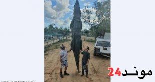 استراليا: غموض يلف ايجاد شريحة معدنية تستعمل في تثبيت العظام في بطن تمساح ضخم