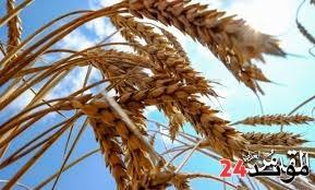 الجزائر: خفض الواردات من القمح بهدف توفير العملة الصعبة